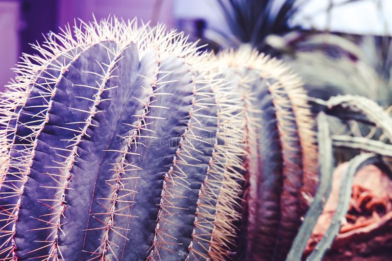 Two purple surreal cactus with needles are standing close-up in stock photo