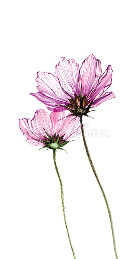 Download Two Purple Watercolor Flowers On White Background Stock Illustration