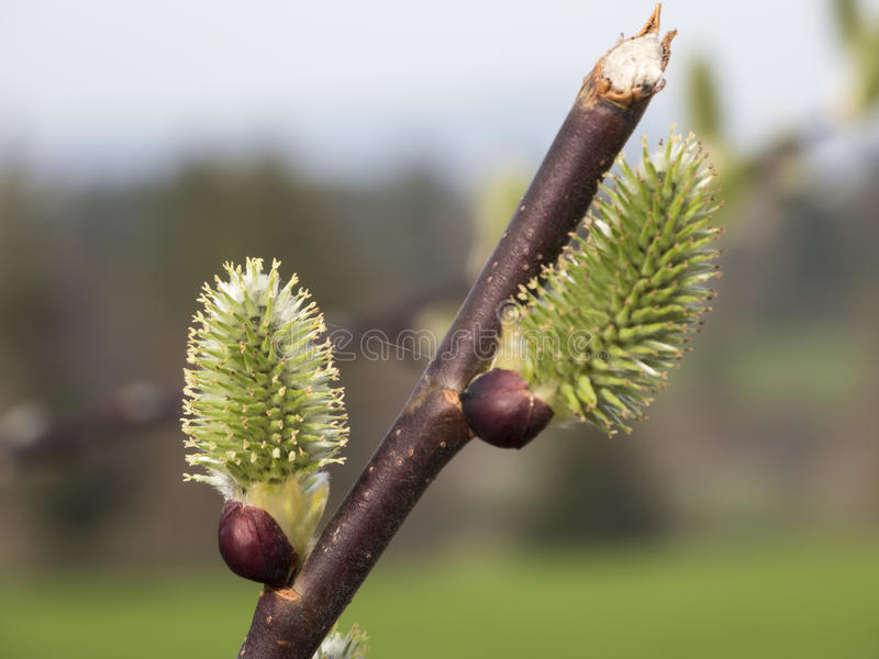 Two willow on the branch. Close-up of two willow on a twig in diffuse natural light royalty free stock photos