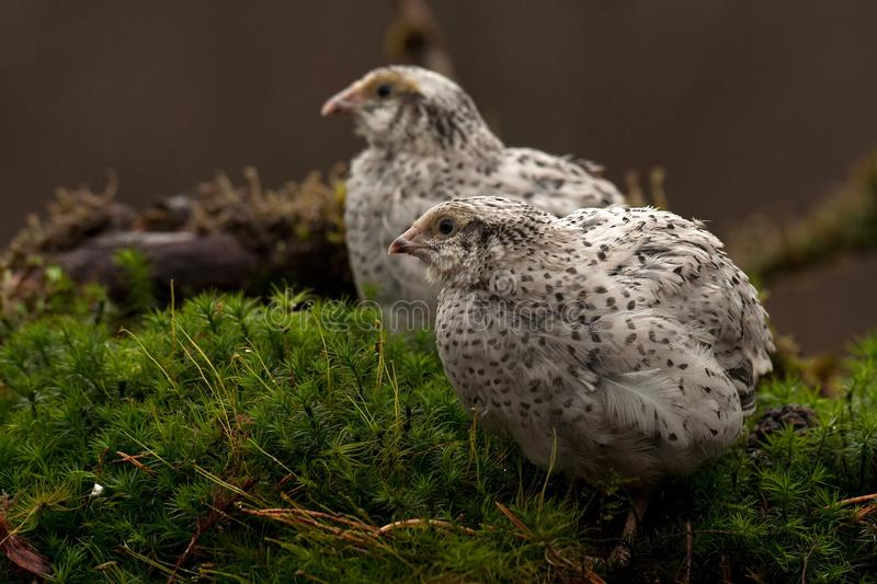 Two quail, Coturnix japonica.....photographed in nature. Two Japanese quail, Coturnix japonica.....photographed in nature. Breed by hoby growers in Sweden. The stock images