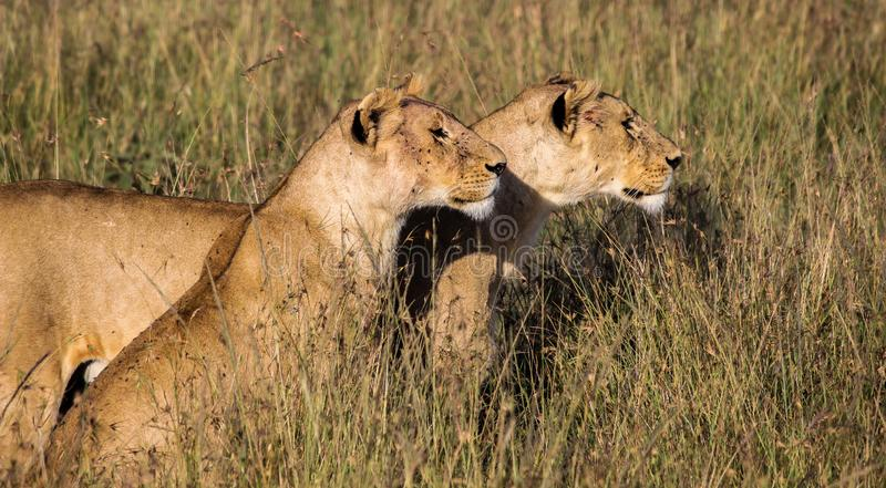 Two Queens - Two lionesses looking for their next meal. royalty free stock photos
