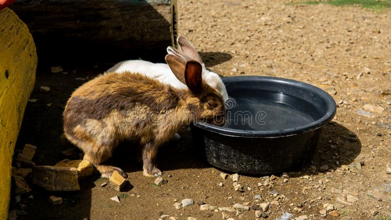 Two rabbit drinking water during hot days. A group of black and white rabbit in the garden are drinking water during the hot days stock photography