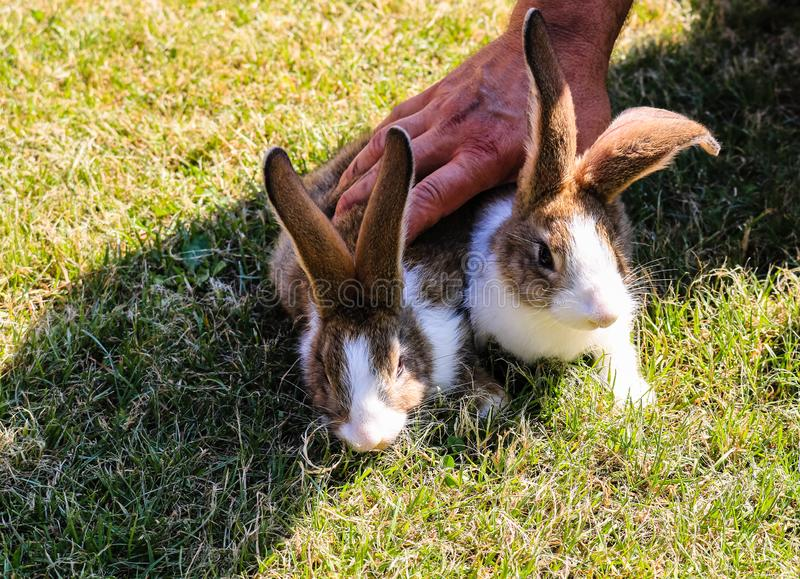 Two rabbits being hold down by a strong man hand.  royalty free stock photography