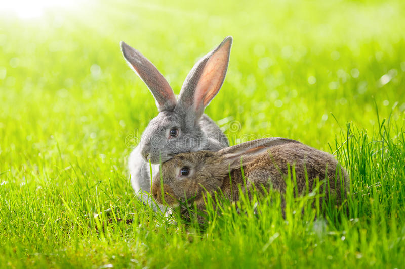 Two rabbits. Brown and gray rabbits in green grass stock image