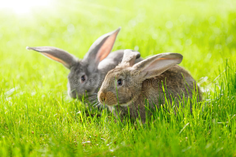 Two rabbits. Brown and gray rabbits in green grass royalty free stock photo