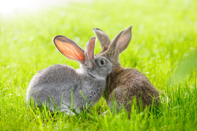 Two rabbits. Brown and gray rabbits in green grass stock photo