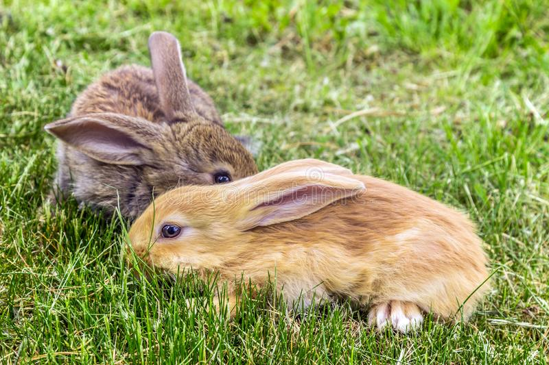 Two rabbits on green grass stock images