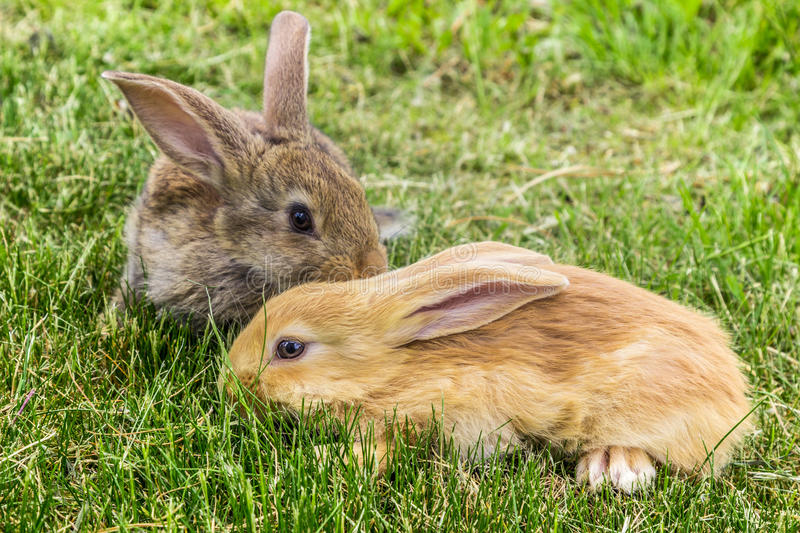 Two rabbits grey and red on grass stock photos