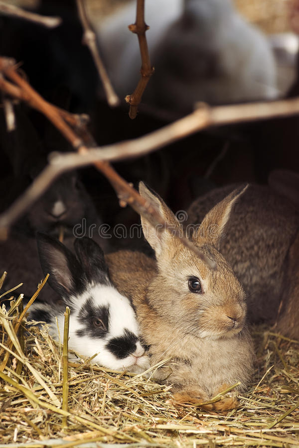 Download Two rabbits on hay stock photo. Image of domestic, holiday - 23822706