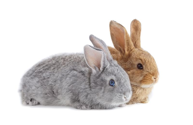 Two rabbits isolated on white background royalty free stock photography