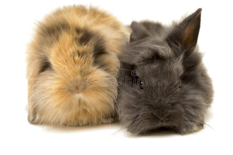 Two small dwarf rabbits on white. stock photos