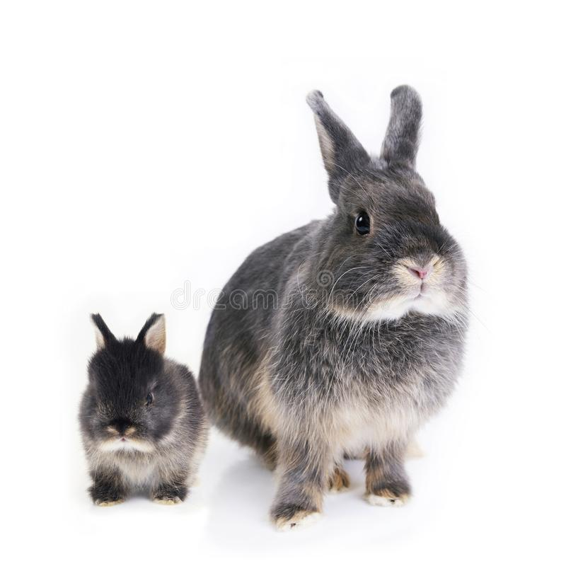 Two rabbits, mother and child, standing side by side. stock photos
