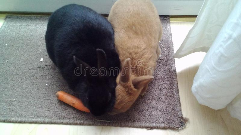 Two rabbits and one carrot stock photos