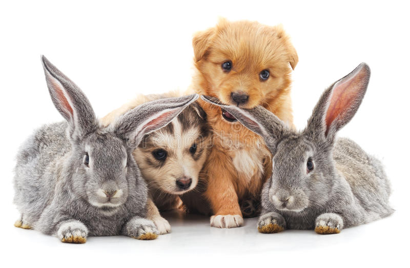 Two rabbits and two puppies. stock photo