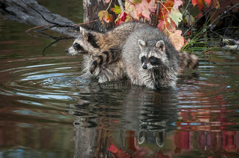 Two Raccoons Procyon lotor Look Out Paws in Water Autumn royalty free stock photos