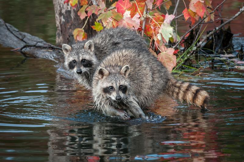 Two Raccoons Procyon lotor Look Straight Out Autumn stock photography