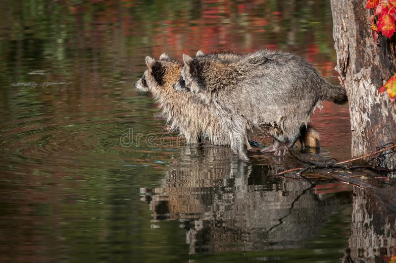Two Raccoons Procyon lotor Side By Side Looking Left Reflected Autumn royalty free stock photography