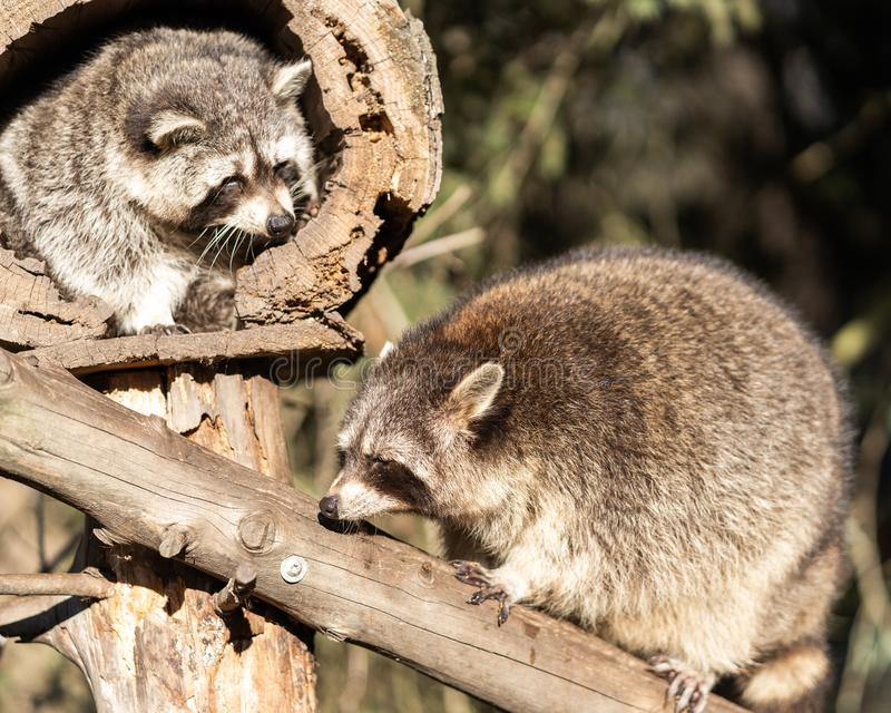 Two Raccoons or Racoon Procyon lotor, also known as the North American raccoon, in the zoo. stock photos