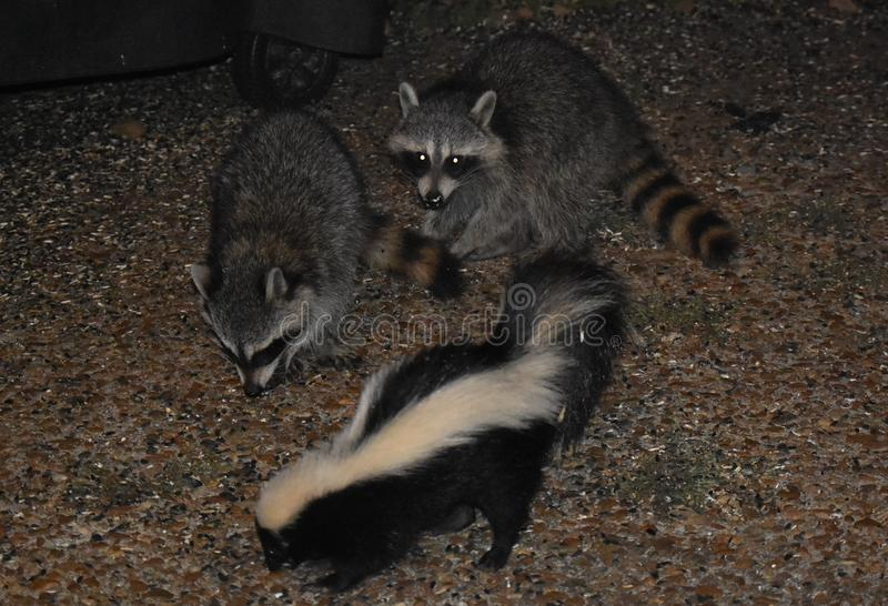 Two Raccoons and a Striped Skunk royalty free stock photo