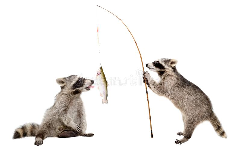 Two raccoons with a trout caught on a fishing rod royalty free stock photography