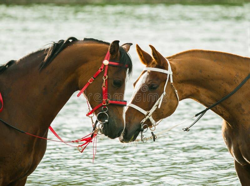 Two race horses communicating royalty free stock photo