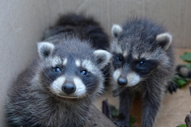 Two racoons look forwards. Two small racoons look forwards stock images