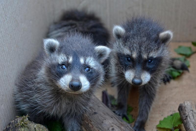 Two racoons look forwards. Two small racoons look forwards royalty free stock images