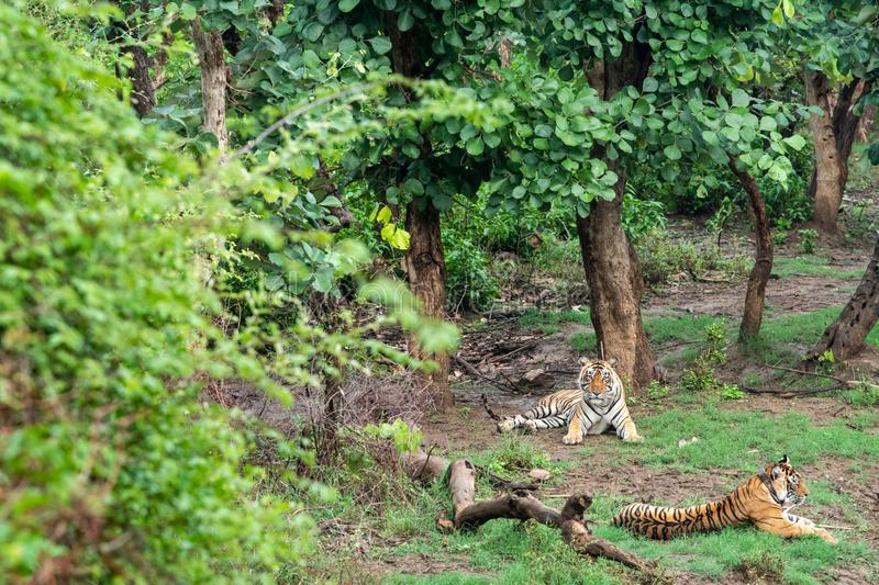 Two Radio or tracking collar bengal tigers or a mating pair in beautiful green trees and background at Sariska. National Park or Tiger Reserve, rajasthan, india royalty free stock photo