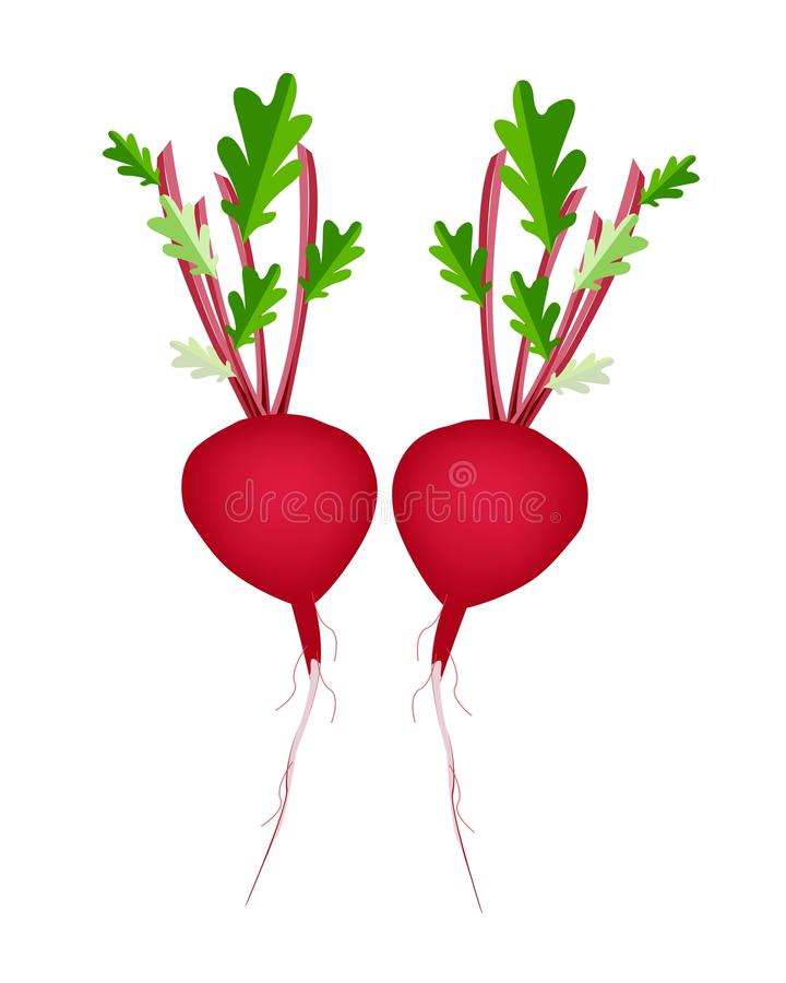 Free Two Radish Or Beet On White Background Royalty Free Stock Images - 38691539