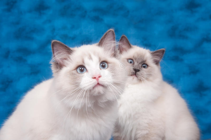 Two ragdoll cats on blue background royalty free stock photography