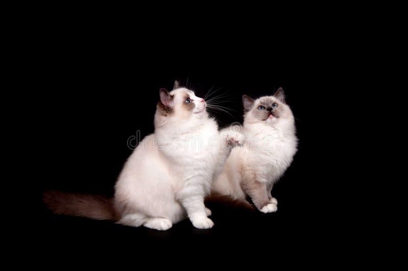 Two ragdoll kittens on black royalty free stock photo