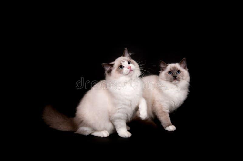 Two ragdoll kittens on black royalty free stock image