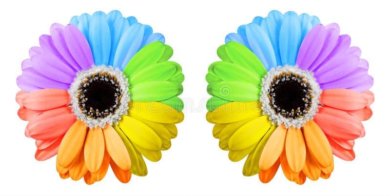 Two rainbow gerbera flowers royalty free stock photo