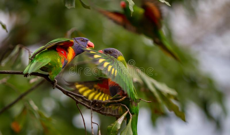 Two rainbow lorikeets having words stock images