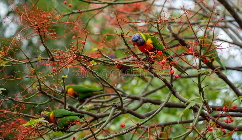 Prepared to take flight. Two rainbow lorikeets in the flowers of an illawara flame tree with more birds visible in the background stock images