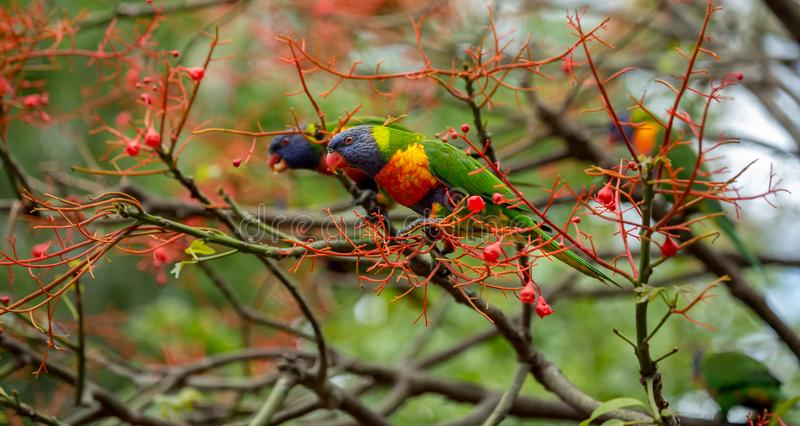 Two rainbow lorikeets in the flowers of an illawara flame tree. With more birds visible in the background stock photo