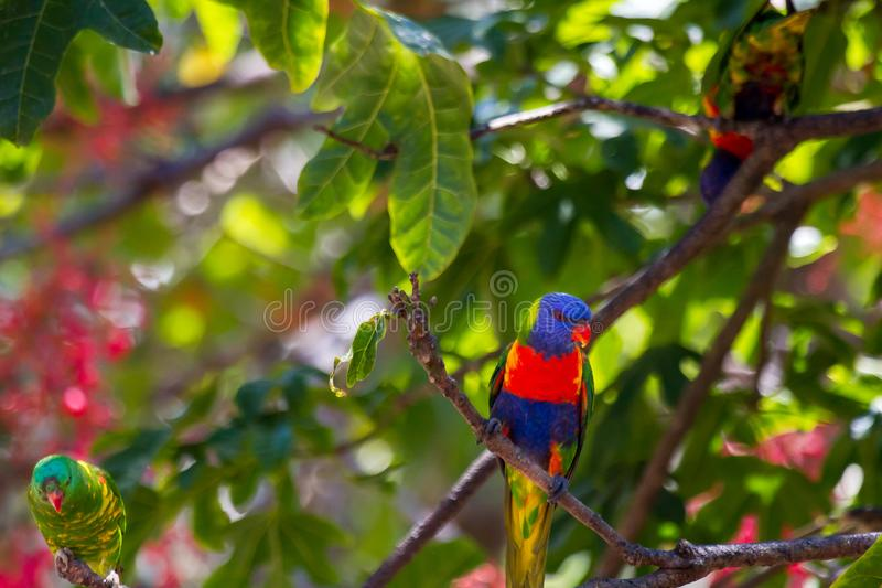 Two rainbow lorikeets and a scaly-brested lorikeet. Perched on branches of an Illawarra Flame Tree royalty free stock photography