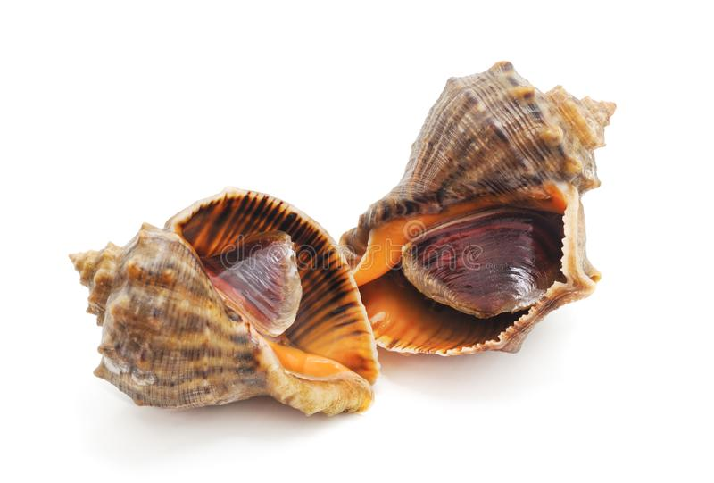 Two rapana clam. On a white background stock images