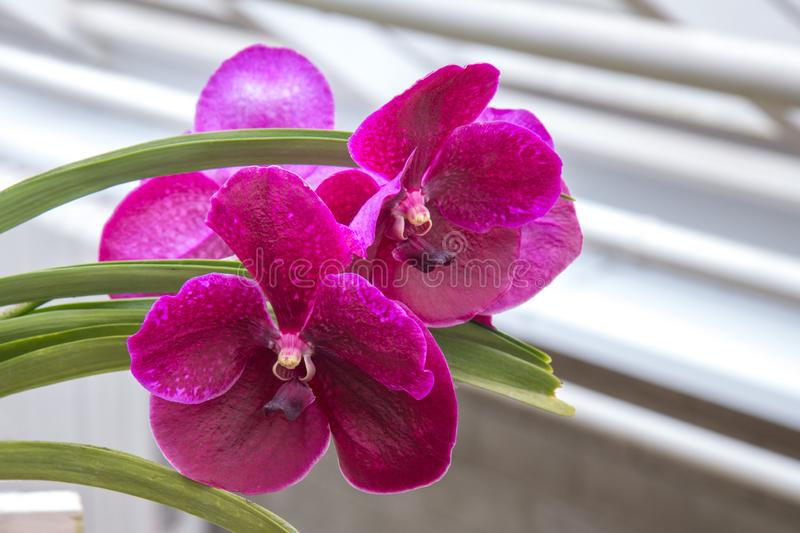 Two rare Orchid flowers bloomed stock images