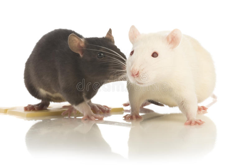 Two rat isolated. Two raton a white background stock photos