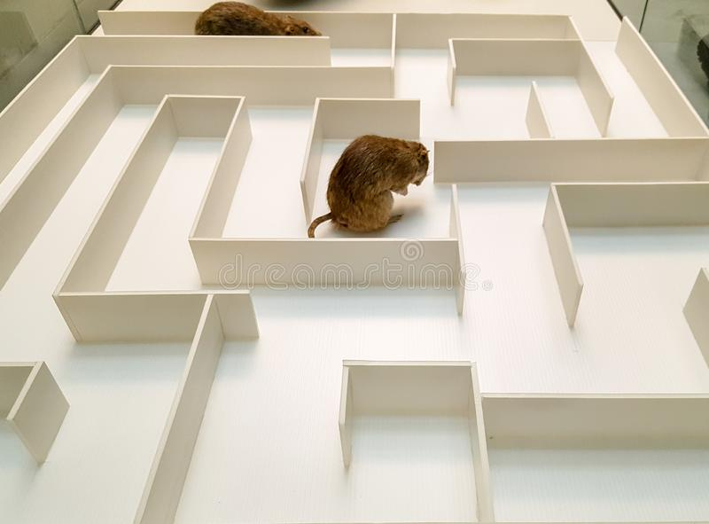 Two rats are in different parts of the white maze.  royalty free stock images