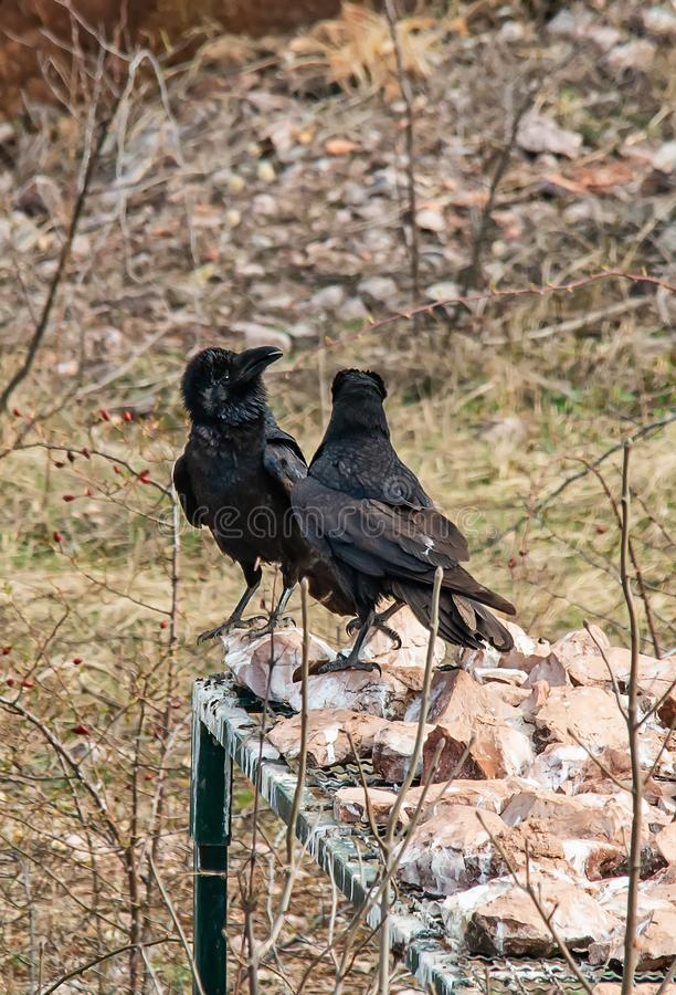 Two ravens are arguing. In Serbia stock images