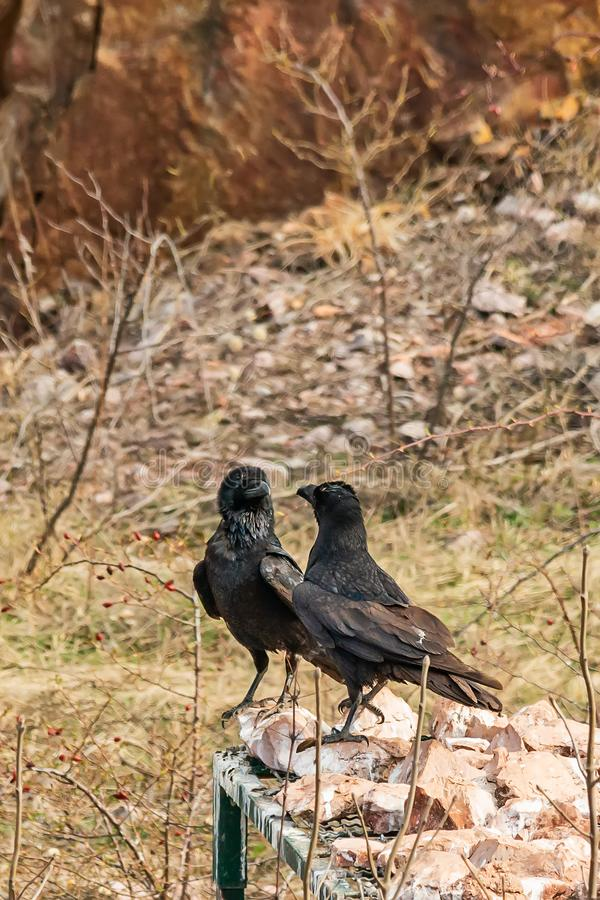Two ravens are arguing. In Serbia stock photo