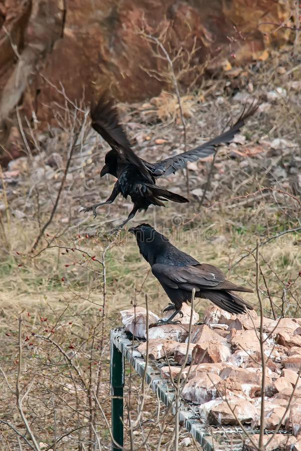 Two ravens are arguing. In Serbia royalty free stock photography