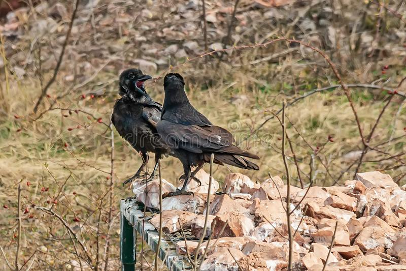 Two ravens are arguing. In Serbia royalty free stock photo