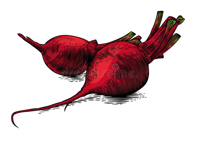 Two raw beetroots. Drawing of two raw whole beetroots on the white background vector illustration