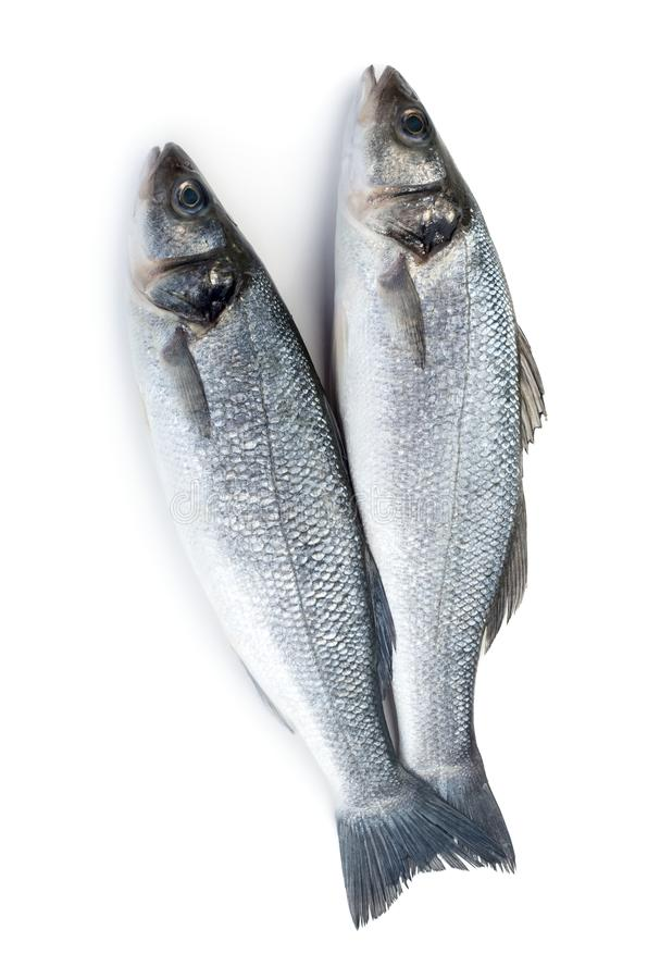 Two raw seabass. Fish isolated on white background royalty free stock image