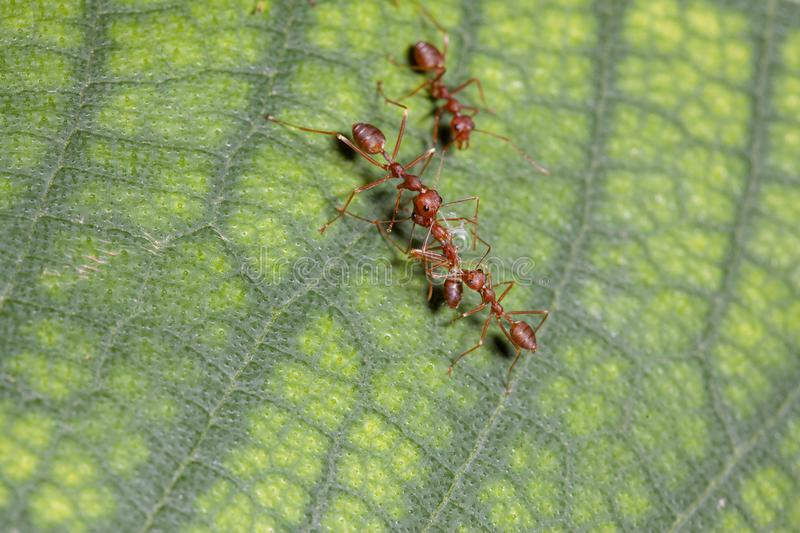 Two red ant attack red ant for food. White, nature, green, people, closeup, concept, image, one, leaf, space, macro, studio, animal, work, group, single royalty free stock photos