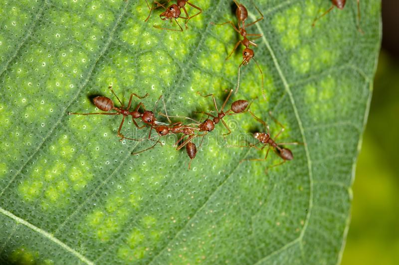 Two red ant attack red ant for food. White, nature, green, people, closeup, concept, image, one, leaf, space, macro, studio, animal, work, group, single royalty free stock images