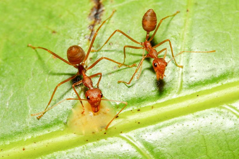 TWO RED ANT WALK ON GREEN LEAF IN NATURE stock photography